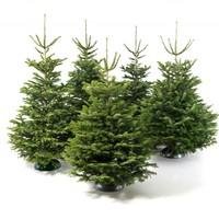 купить датскую елку